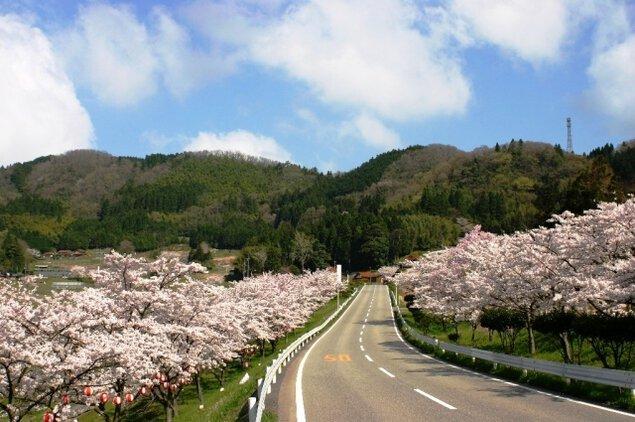 【桜・見ごろ】野坂桜並木