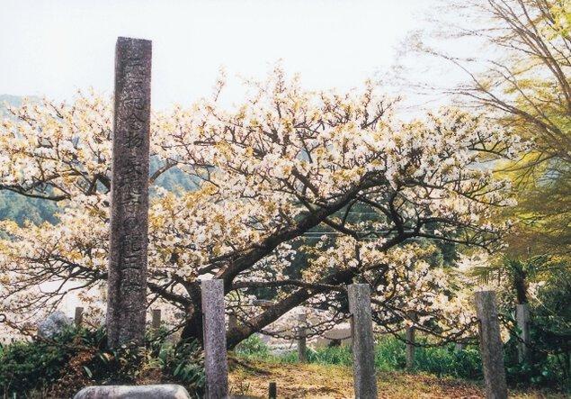 【桜・見ごろ】長徳寺の龍王桜