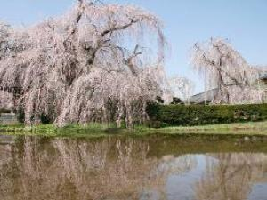 【桜・見ごろ】安養寺のしだれ桜