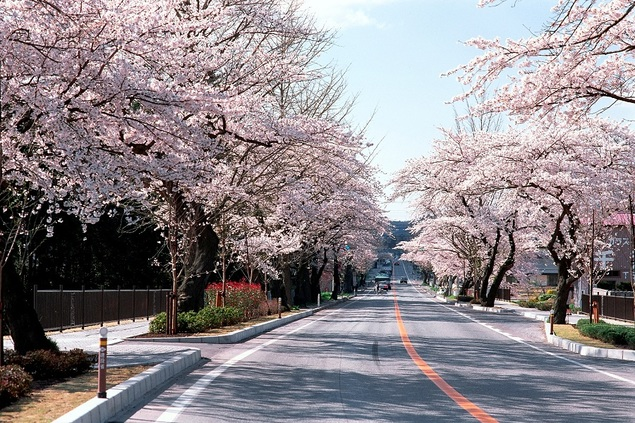 平泉町内県道300号線(旧国道4号線)の桜並木