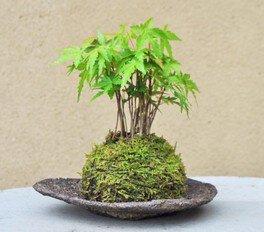 こけ玉盆栽づくり(もみじ)(夏休みワークショップ32・33)