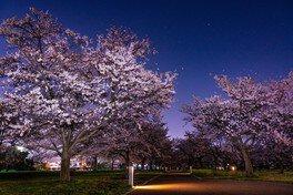 入間川にこにこテラス(入間川河川敷中央公園)の桜