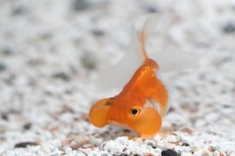 特別展「~金魚のお祭り~夏の大金魚展」