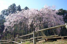 【2020公開中止】田ノ頭郷のしだれ桜(波佐見町)