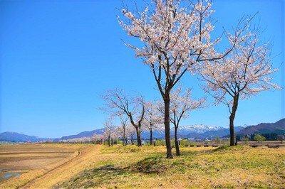 魚野川桜づつみの桜