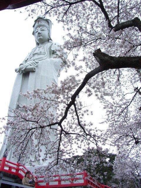 【桜・見ごろ】観音山公園