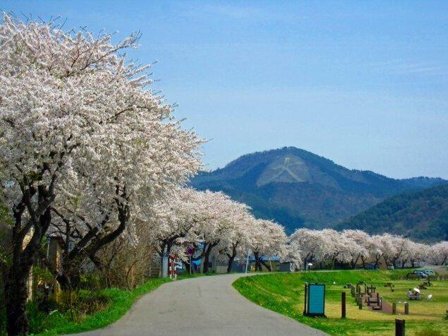 【桜・見ごろ】長木川堤防
