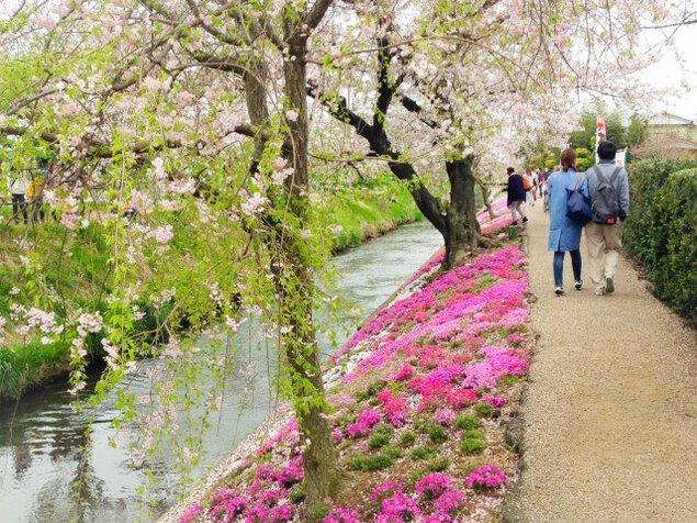 【花・見ごろ】渋田川沿いの芝桜
