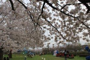 【桜・見ごろ】河川緑地たちばな公園