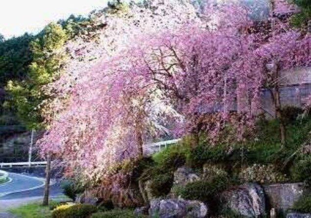 【桜・見ごろ】八幡神社