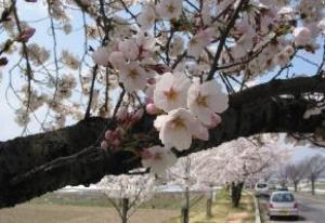 【桜・見ごろ】薄川堤防