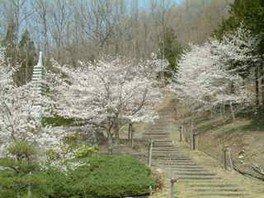 【桜・見ごろ】富士見ふれあいの森公園