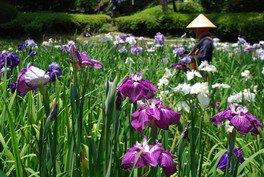 町田薬師池公園 四季彩の杜 しょうぶ・あじさいまつり