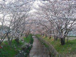 【桜・見ごろ】虚空蔵谷川の桜並木