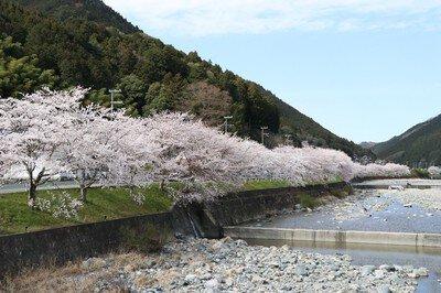 西深の桜並木