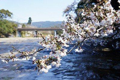 花瀬自然公園の桜