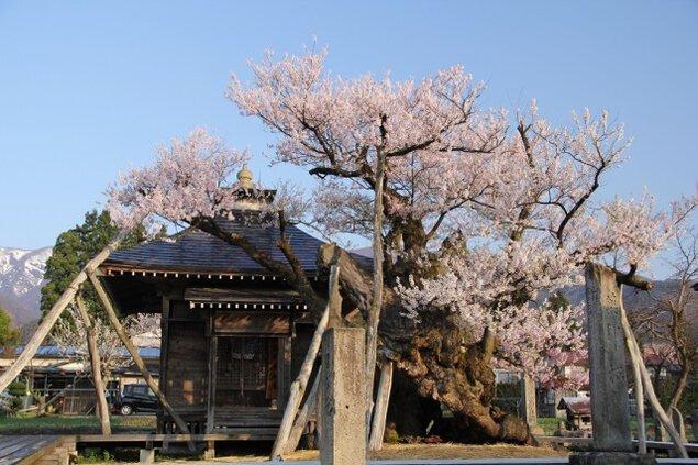 【桜・見ごろ】置賜さくら回廊