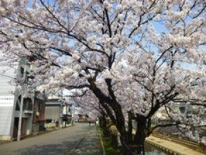 【桜・見ごろ】柿川沿い