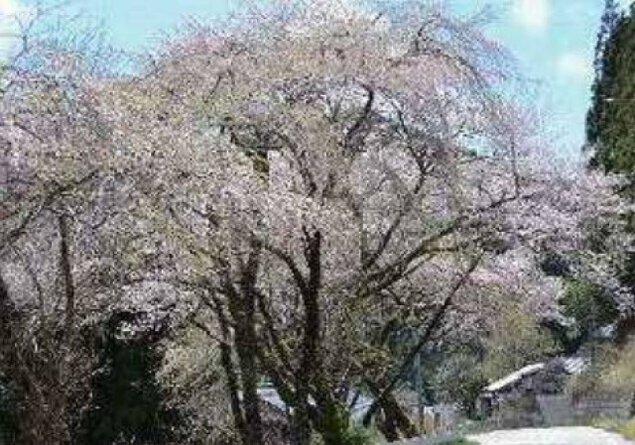 【桜・見ごろ】豊根村 三沢地区