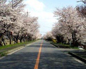 【桜・見ごろ】鍋田川堤桜並木
