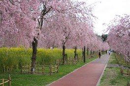 下松スポーツ公園の桜
