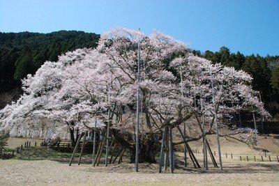 淡墨公園の桜