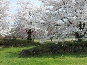 【桜・見ごろ】九戸城跡