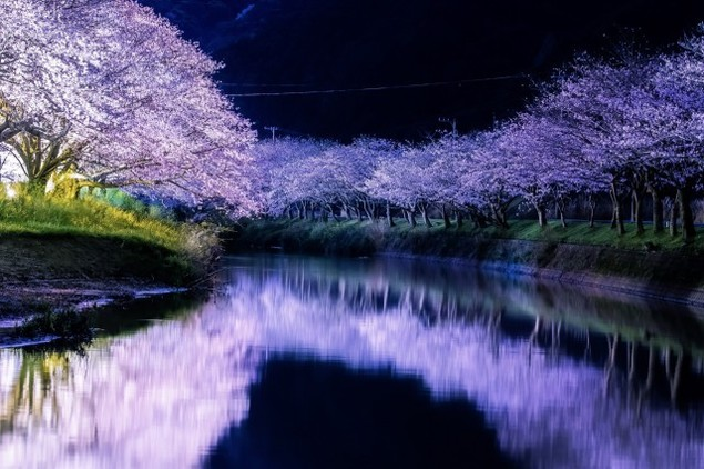 【桜・見ごろ】伊豆松崎町
