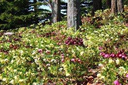 丘一面に咲くクリスマスローズを見ようと、毎年多くの来園者が訪れる
