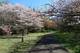 都立桜ヶ丘公園の桜