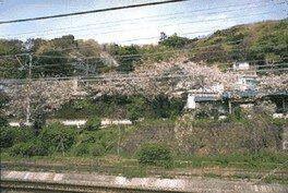 大磯駅及び坂田山斜面の桜
