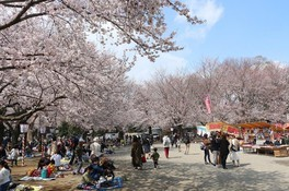 鴻巣公園の桜