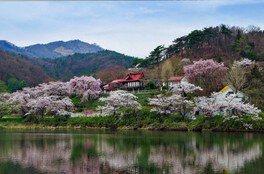 花と歴史の郷 蛇の鼻の桜