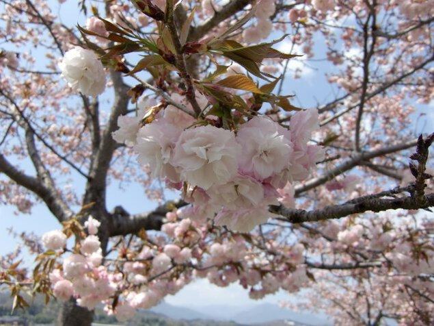 天龍峡八重桜街道桜まつり