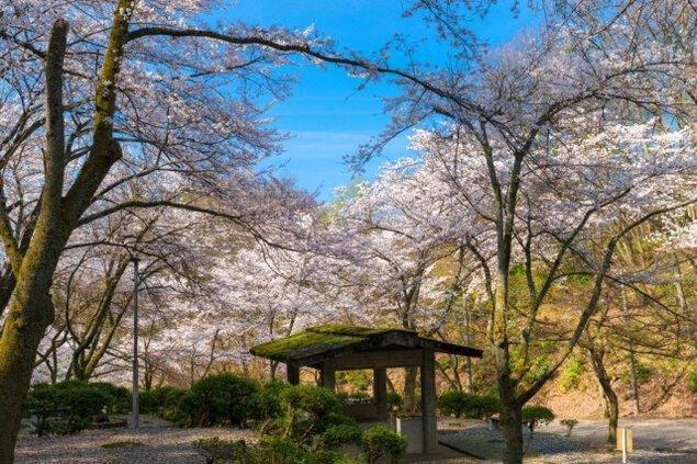 【桜・見ごろ】芦山公園