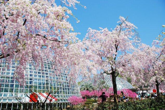【桜・見ごろ】東谷山フルーツパーク<中止となりました>