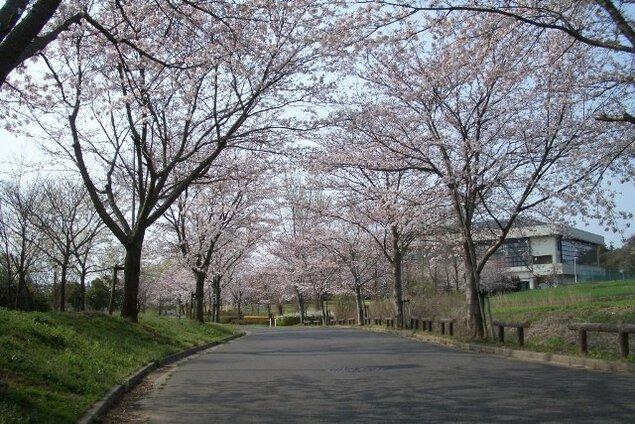 【桜・見ごろ】きぬ総合公園