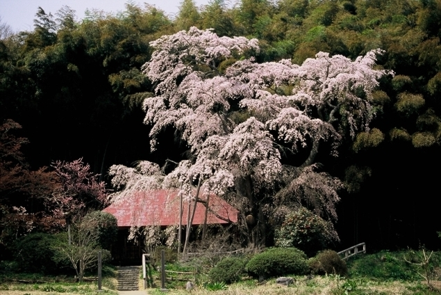 【桜・見ごろ】雪村桜