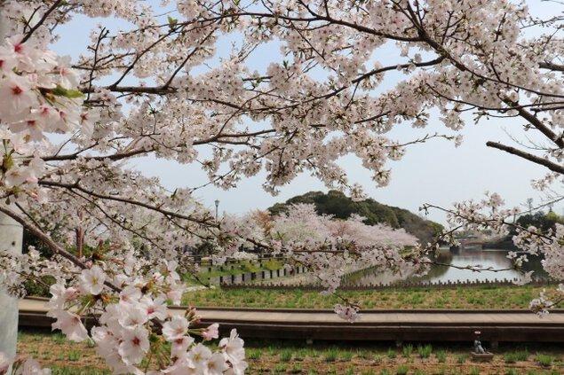 【桜・見ごろ】香川県立亀鶴公園