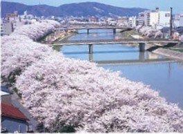 【桜・見ごろ】足羽川桜並木
