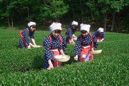 蔵屋鳴沢で春のチャレンジ茶摘み