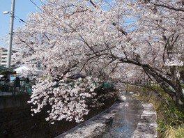 麻生川の桜並木