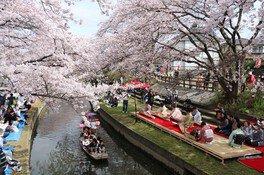 元荒川の桜並木の桜