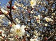 第17回「小金井公園」うめまつり & 四季の花まつり(冬)