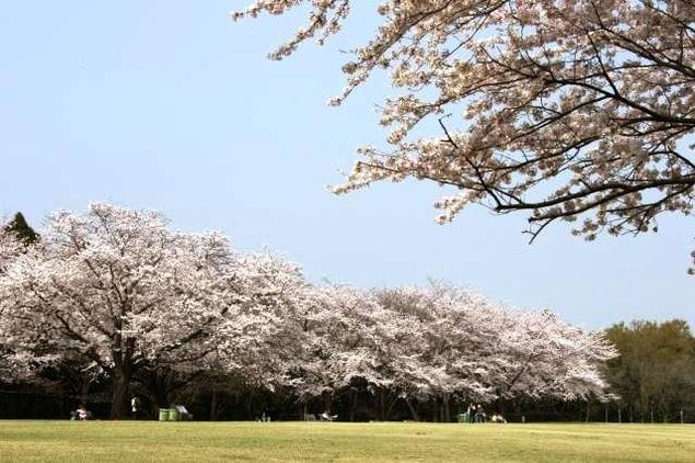 【桜・見ごろ】泉自然公園