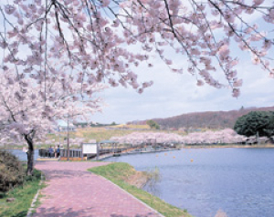 【桜・見ごろ】平筒沼ふれあい公園