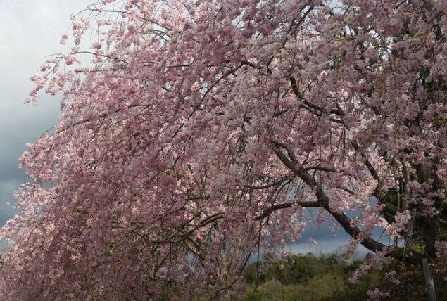 【桜・見ごろ】たけべの森公園