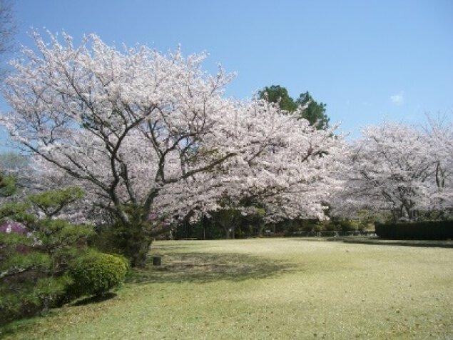 【桜・見ごろ】杉村公園