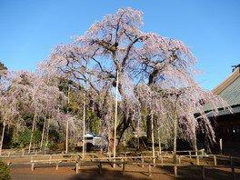 長光寺のしだれ桜