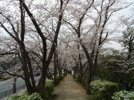 さくら近隣公園の桜